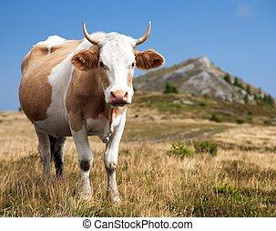 cow, bos primigenius taurus - cow (bos primigenius taurus)...