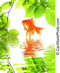 goldfish and green leaves with water reflection showing...