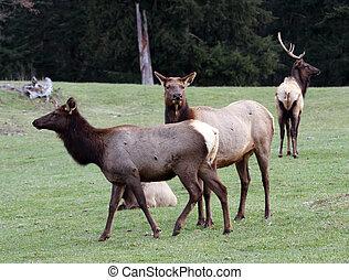 wa, Treck, foto, Elch, Tierwelt,  Park, Nordwesten, genommen