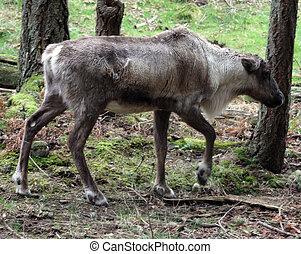 wa, Treck, foto, Tierwelt,  Park, Nordwesten, karibu, genommen