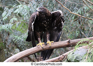 Golden Eagle Photo taken at Northwest Trek Wildlife Park, WA...