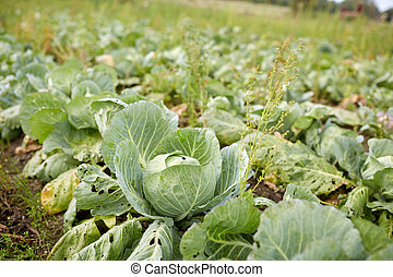 cabbage growing on summer garden bed at farm - vegetable,...