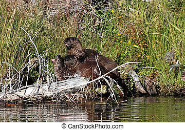 Baby River Otters Lontra canadensis in Yellowstone National...