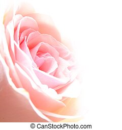rose flower showing amor love or anniversary concept