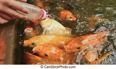 Feeding Koi fish with milk bottle in farm.