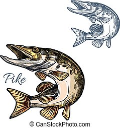 Pike fish sketch vector isolated icon - Pike sketch icon....