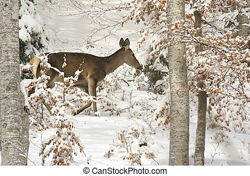 hind in winter