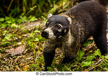 Beautiful coati. - A beautiful picture of a coati, Costa...
