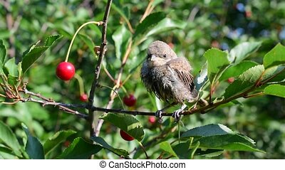 Whitethroat fledgling perching on cherry tree twig in a...