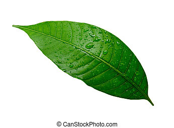 Mango leaf with water drop isolated on white background