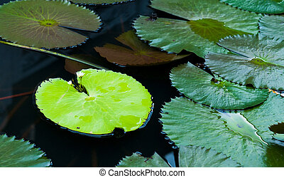 Water Lily Leaves - Water lily leaves