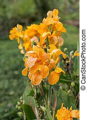 flores, jardín, amarillo,  Gladioli
