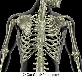 Skeleton showing close up of rib cage - 3D render of a...
