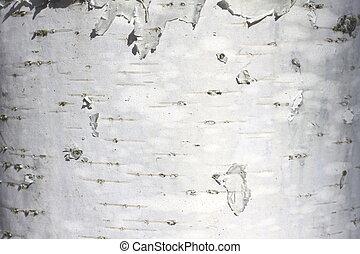 birch trunk texture - White wood texture close-up, birch...