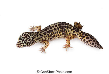 The leopard gecko isolated on a white - The leopard gecko...