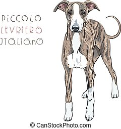 Vector Italian Greyhound Dog breed
