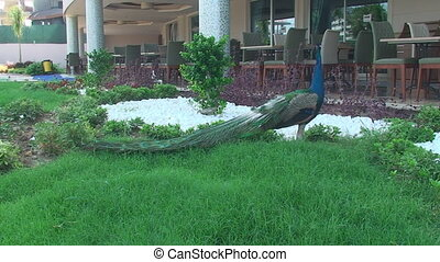 early morning near the hotel-walking peacock - near the...