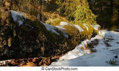 moss covered log in the forest - moss covered oak log in the...