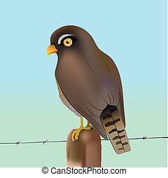 Eurasian sparrow-hawk - An illustration of an Eurasian...