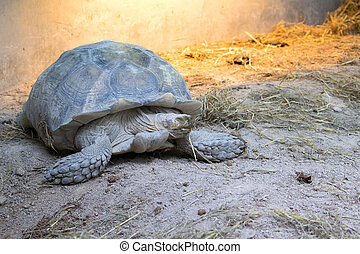 Image of a turtle on the ground. (Geochelone sulcata)...