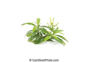 Gardenia, hoja, aislado