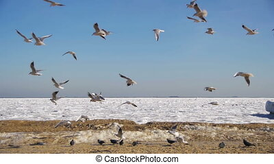 Seagulls Flying in the Air and Catch Food on Winter Frozen...