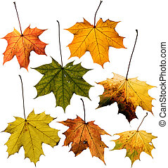 Set of Maple leaf isolated on white. Clipping path included...