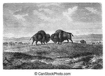 Bisons - American bisons on prairie. Illustration originally...