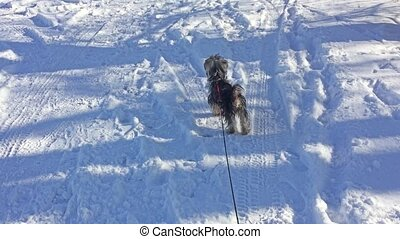 Yorkshire Terrier dog running through the snow winter joy...