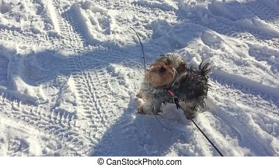 Yorkshire Terrier pet dog running through the snow winter...