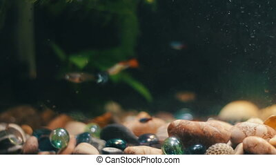 Many beautiful colourful fish with long voile tails and fine...