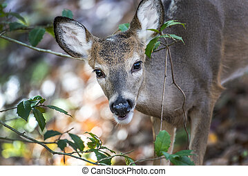 White Tail Deer peeking through a bush - White Tailed Deer...
