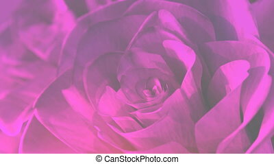 rotating pink roses background theme - 3D render. seamless...