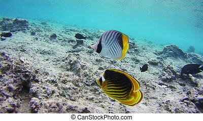 Butterflyfish, Chaetodon fasciatus, Colorful Tropical Fish...