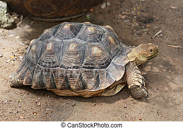 Freshwater turtle. - Freshwater turtle on the ground.