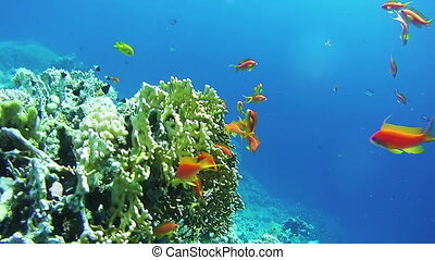 Beautiful Colorful Tropical Red Fish on Vibrant Coral Reefs...