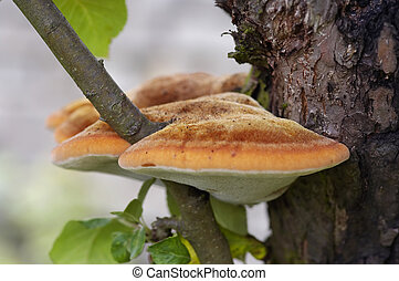 tree fungus - Detail of the tree fungus - pore fungus -...
