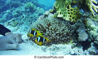 Clown Anemonefish, Colorful Tropical Fish on Vibrant Coral...