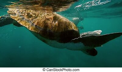 Sea turtle swimming down from the glassy sea surface through...