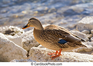 Female mallard, mottled wild duck, with brown speckled...