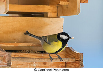 Great tit bird in yellow and black color perching on wooden...