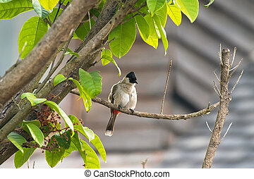 Sooty headed bulbul, song bird with black head, red vent...
