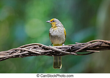 Stripe throated, Streak throated bulbul songbird bird with...