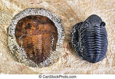 Cambrian Period Trilobites. - Cambrian period trilobites...