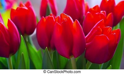 Colorful bouquet of red tulips blooms, rotation.