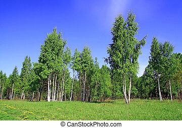 birch copse