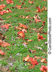 Bombax Ceiba lie on the ground - Wilting flowers of the Red...