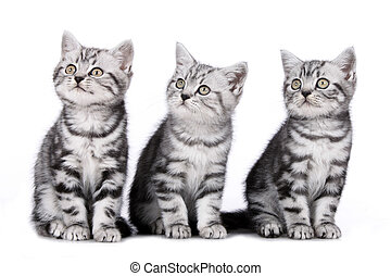 Three british shorthair kitten side by side isolated on...