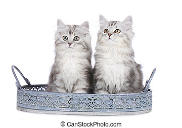 Two cute angora kitten in a basket isolated