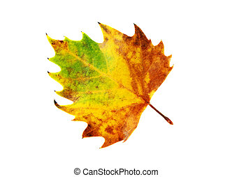 leaf isolated - colorful autumnal leaf isolated